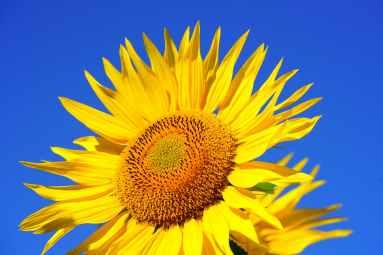 sun-flower-blossom-bloom-pollen-541484.jpeg